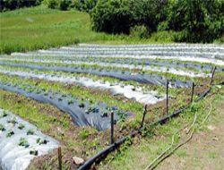 20 Günlük çilek hasatını 5 aya yükselttiler!..