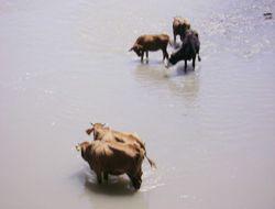 Süt verimi düşen hayvanları yıkayın!..