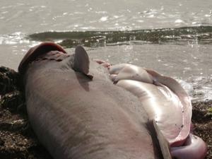 Çanakkale'de dev köpek balığı sahile vurdu