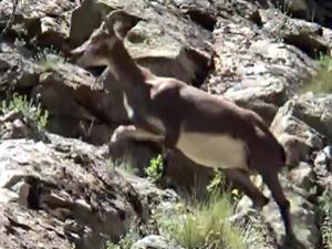 İspir'de dağ keçisi görüntülendi