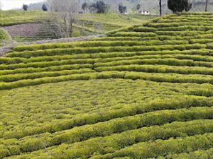 Rizeliler yaş çay taban fiyatını beğendi