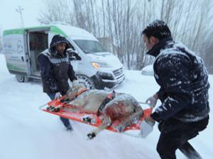 Van'da yaralı köpek için karda 37 kilometre gittiler!