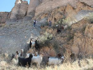 Kaçan kurbanlık keçiler zor anlar yaşattı