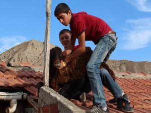 Kurbanlık koyun evin çatısına çıktı