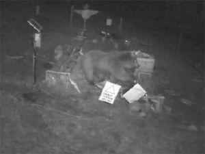 Arı kovanlarına saldıran ayı güvenlik kamerasına yansıdı