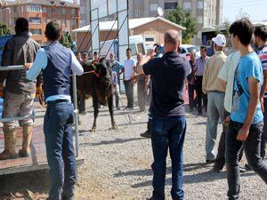 Erzurum'da 'Angus' cinsi kurbanlık güçlükle kesilebildi