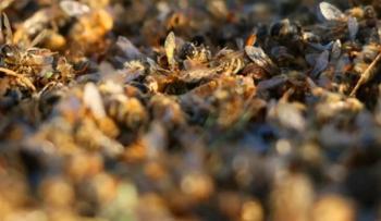 Binlerce arı telef oldu: Nosema hastalığı kaptılar