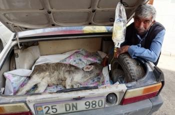 Buzağıyı otomobille veterinere yetiştirdi