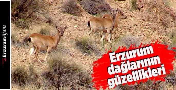 Yaban keçilerinin kartpostallık görüntüsü