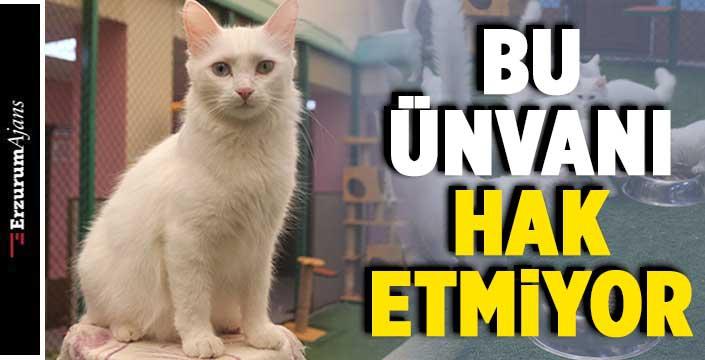Van kedisi uysal bir hayvandır!